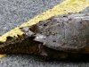 cropped-2017-0424-snapping-turtle-header-1000x288.jpg