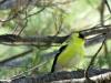 cropped-2017-0514-goldfinch-dead-pine-header-1000x288.jpg