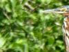 cropped-2017-0811-little-heron-header-x-1000x288.jpg