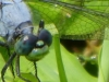 cropped-P1070839-2017-0725-dragonfly-blue-1000x288.jpg