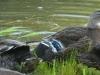 cropped-P1090064-2017-0730-ducks-spillway-1000x288.jpg