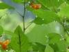 cropped-P1120364-2017-0813-jewel-weed-glisten-1000x288.jpg