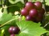 cropped-P1130038-2017-0904-muscadine-vine-1000x288.jpg