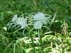 2018 0815 Carolina spider lily.jpg