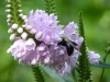 2018 0817 bee obedient plant.JPG