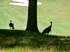 2015-0804-turkeys-in-the-rough.jpg