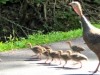 2016-0616-turkey-poults-header-1000x288.jpg