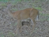 P1300968 2019 0617 doe nursing fawn.JPG