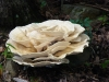 P1000473 2013 0723 huge mushroom denny ridge closeup.JPG
