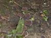 P1040474 2013 0818 brown fungus.JPG