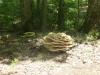 P1400784 2016 0806 huge mushroom fungus.JPG