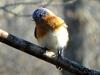 2013 0218 bluebird closeup (2).jpg