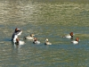 2013 0319 flapping duck.jpg