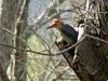 2013 0408 woodpecker (7).jpg