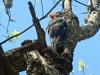 2013 0413 pileated woodpecker.jpg