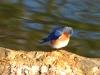 2014 0112 puffy bluebird.jpg