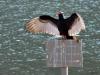 2014-0309-turkey-vulture-sunning-1.jpg