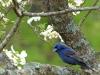 2014-0419-blue-grosbeak.jpg