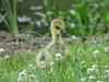 2014-0527-canada-goose-gosling.jpg
