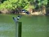 2014-0706-kingfisher-attack-1.jpg
