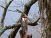 2015-0124-redheaded-woodpecker-1.jpg