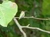 2015-0907-hummingbird-tree-limb.jpg