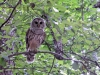 2016 0614 barred owl.jpg