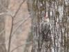 P1090447 2015 0220 sapsucker woodpecker looking at me.JPG