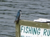 P1150804 2015 0515 purple martin fishing rules.JPG