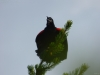 P1160214 2014 0615 redwing blackbird.JPG