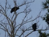 p1140340-2013-1201-turkey-buzzard