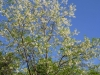 2012-0405-black-locust-tree-2