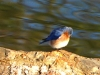 2014-0112-puffy-bluebird