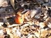 2018 1222 cardinal maple seed h.jpg