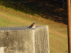 p1110358-2013-1027-bluebird-at-dam-4
