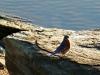 p1110363-2013-1027-bluebird-at-dam-6b
