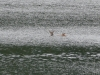 P1230142 2018 0628 doe and fawn swimming lake.JPG
