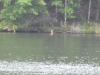 P1230428 2018 0628 doe and fawn lake.JPG