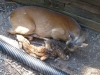 2012-0626-newborn-twin-fawns-2