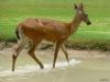 p1010406-deer-sandtrap-10