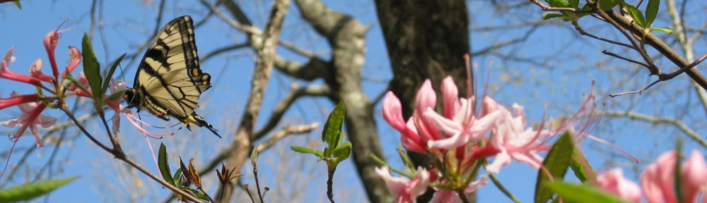 2011-0407-butterfly-azalea-header