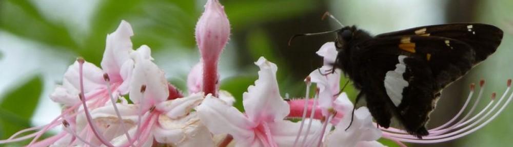 2012-0329-butterfly-azalea-header