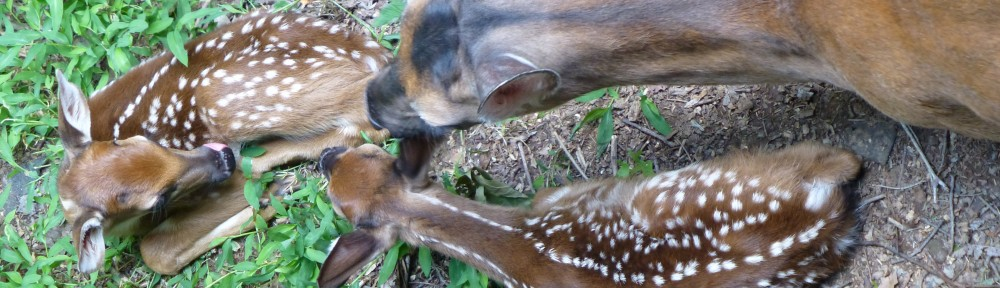 2012-0626-twin-fawns-header