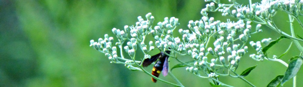 2012-0901-bee-wildflower-header