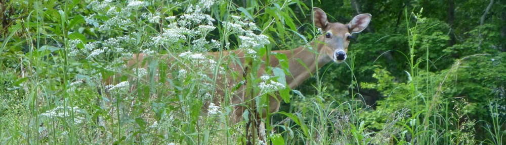 2012-0910-deer-peeking-out-header