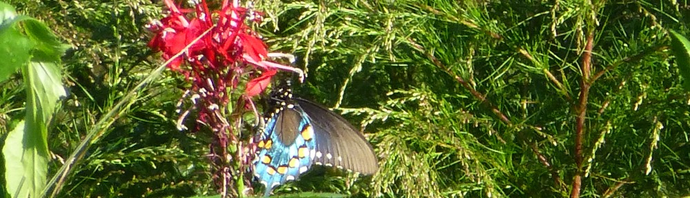 2012-0923-butterfly-cardinal-flower-header