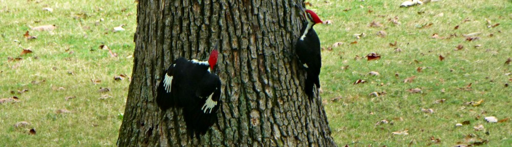 2012-0929-pileated-woodpeckers-header