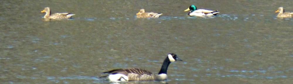 2012-1219-ducks-geese