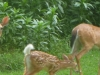 2011-0708-deer-family-header