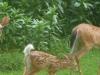 2011-0708-deer-family-header